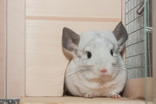 Cute Grey Chinchilla Is Sittin...