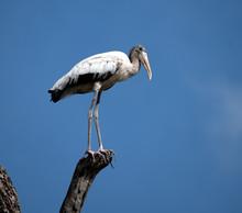 White Wood Stork With Black Ba...