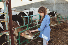 Kid Girl Feeding Calf On Cow F...