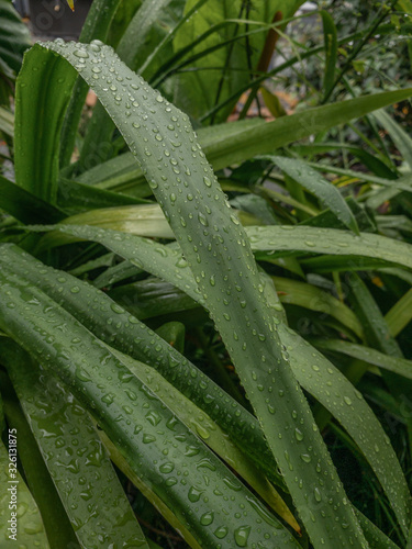 Water-drops over a long leaf  - 326131875