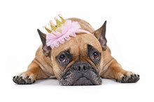 Cute French Bulldog Dog Lying ...