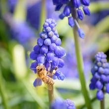 Bumble Bee Feeding From Grape Hyacinth