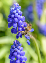 Bumble Bee Feeding From Grape Hyacinth