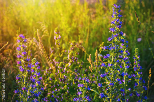 Blueweed or viper's bugloss, Echium vulgare. Bloom in wild. Canvas Print
