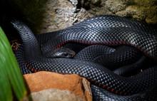 Red Belly Black Snake