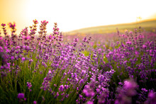 Beautiful Lavender Flowers Close Up On A Field During Sunset. Nature