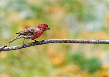 Male House Finch Bird With Red...