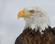 Bald Eagle Closeup Profile Por...