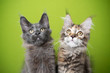 portrait of two cute maine coon kittens looking up curiously in front of green background. the one cat has blue fur and the other tabby