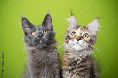 portrait of two cute maine coon kittens looking up curiously in front of green background Obraz na płótnie