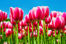 Bright Pink Tulip Flowers Blooming In A Tulip Field Against Background Of Blue Sky. Nature Background