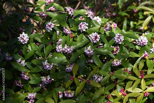 Photo Winter daphne flowers / Winter daphne bloom strong aromatic flowers from February to March