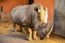 White Rhino Looking At Camera