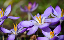 Close-up Of A Purple Blooming Crocus With Opened Petals And Dainty Seed Threads In Spring In The Early Bloom As A Messenger Of Hope
