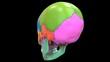 Human Skeleton System Skull Bone Parts Anatomy