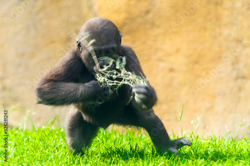 Fotomural Young western lowland gorilla