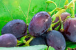 grape berries close-up. organic ripe fruit macro. harvest