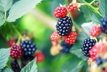Berry Growing In Garden. Ripe ...
