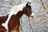 Beautiful paint vanner draft horse in winter snow park