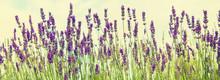 Blooming Lavender Field. Summe...