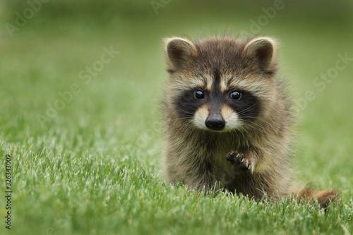 Billede på lærred red fox in the grass