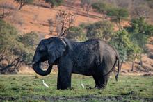 Elephant Coverig Himself Into ...