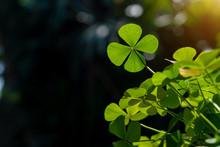 Clover Leaf In Lens Flare For Background And St. Patrick's Day Background