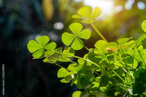 Fotografia clover leaf in lens flare for background and St