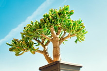 Bonsai Style Of A Crassula Ova...