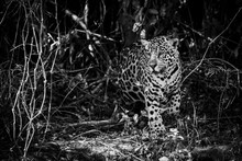 Mono Jaguar Prowling Through Forest In Sunlight