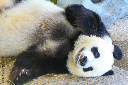 Photo Panda resting in Dalian China