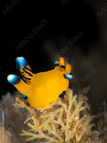 neon yellow thecacera pikachu nudibranch underwater in indonesia фототапет