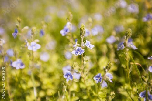 Fototapeta Spring flowers on the field