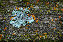 Lichen On Old Fence Post.