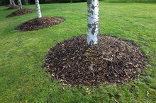 Silver Birch Trees In A Park With Mounds Of Wood Chip Mulch Around The Base.