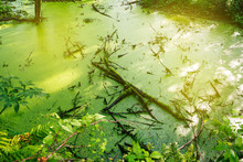 Swamp Green Duckweed. Magical ...