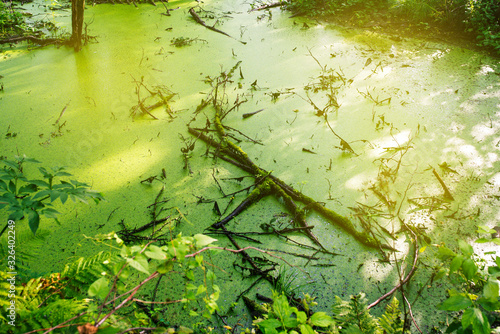 Fotografie, Obraz Swamp green duckweed. Magical summer swamp deep in the forest.