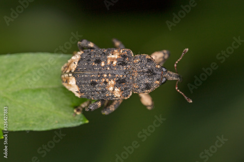 Cryptorhynchus lapathi is a species of weevil native to Europe Wallpaper Mural