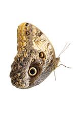 Idomeneus Giant Owl Butterfly ...