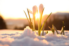 Beautiful Crocuses Growing Thr...