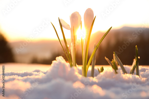Beautiful crocuses growing through snow. First spring flowers - 326444851