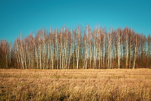 Dry Meadow, Birch Forest Without Leaves And Blue Sky, Nowiny, Poland
