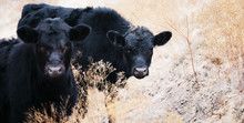 Black Angus Calves Being Curious In Field.