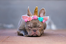 Grumpy French Bulldog Dog With...