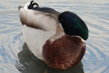 Duck Resting On The Waves With His Head Under The Wing