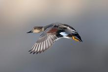 Flying Gadwall Duck