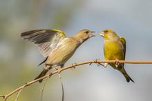 Battle Between Two European Greenfinch (Chloris Chloris).