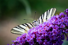 Scarce Swallowtail, Iphiclides Podalirius, Large Butterfly Sitting On Purple Flower