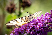 Large Butterfly, Scarce Swallowtail, Iphiclides Podalirius, Sitting On A Purple Flower