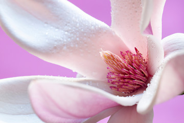 Fototapeta 3D Wet blooming fresh magnolia close up. Spring flower macro abstract